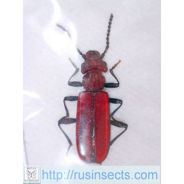 Cucujidae Cucujus haematodes Russia (Moscow reg.)