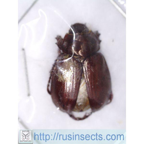 Scarabaeidae, Rutelinae Homonyx chalceus Argentina