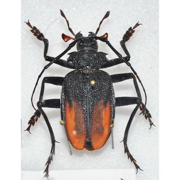 PRIORINIAE Apterocaulus heterogama durnfordii***male **ARGENTINA