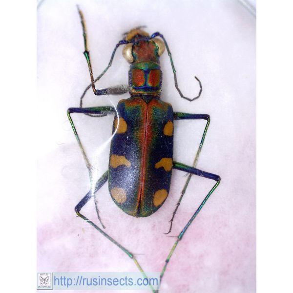 Cicindelidae, Cicindelini Cicindela (Cosmodela) setosomalaris China (C Sichuan)