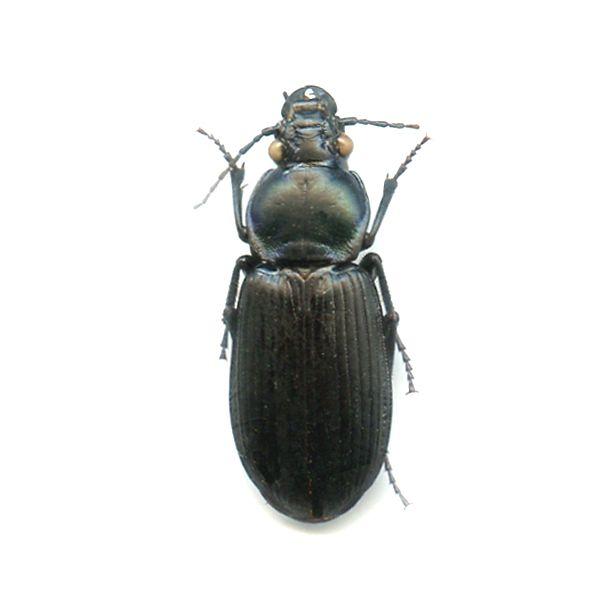 Carabidae species ? - A1 RARE - LOMBOK Is - CARABIDAE