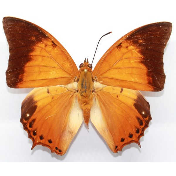 Charaxes affinis affinis - Sulawesi - Nymphalidae, butterfly
