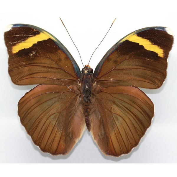 Euphaedra harpalyce - Cameroon - Nymphalidae, butterfly