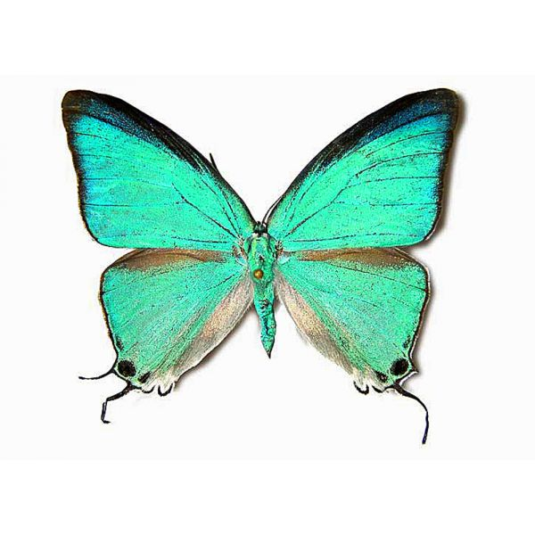 PSEUDOLYCAENA DAMO****male****MEXICO(unmounted,papered)
