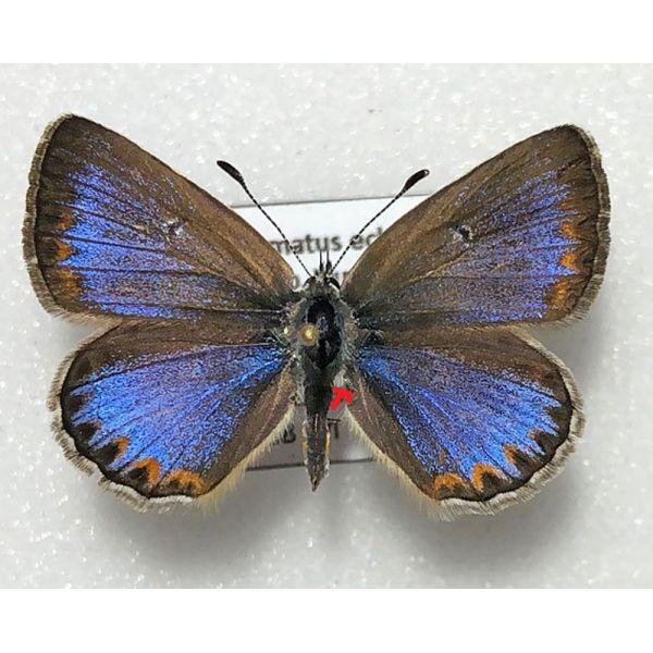 POLYOMMATUS ESCHERI TURATII ***blue female f.subapennina**** ITALY