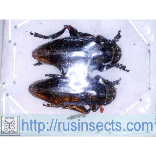 Dorcadionini Dorcadion (Carinatodorcadion) carinatum igrenum SE Ukraine (Donetzk reg.) pair