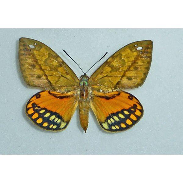 CASTNIA Athis flavimaculata - Castniidae