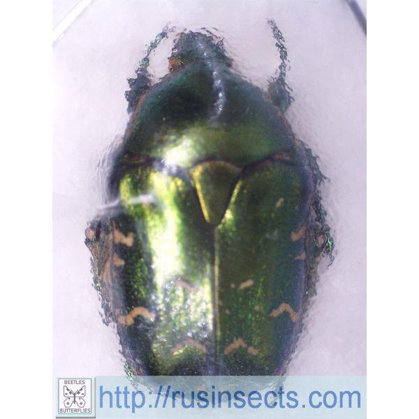 Scarabaeidae, Cetoniinae Potosia marginicollis Uzbekistan (Karzhantau Mts.)