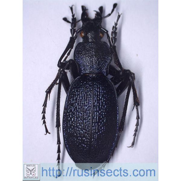 Carabidae, Carabinae, Carabus Carabus (Megodontus) caelatus caelatus Italy