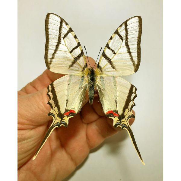 PROTESILAUS HELIOS*****male*** BRAZIL(papered)