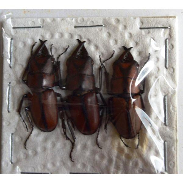 A1 LUCANIDAE Prosopocoilus suturalis 3M 27 to 30 mm Vietnam