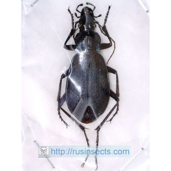 Carabidae, Carabinae, Carabus Carabus (Megodontoides) promachus danbaensis China (W Sichuan) A-