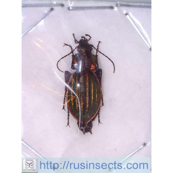 Carabidae, Carabinae, Carabus Carabus (Megodontus) ermaki ermaki Russia, S Siberia (Krasnoyarsk reg.