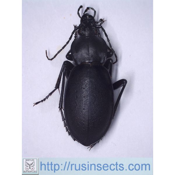 Carabidae, Carabinae, Carabus Carabus (Procrustes) coriaceus mopsucrenae Turkey