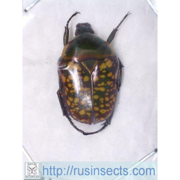 Scarabaeidae, Cetoniinae Celidota stephens Madagascar