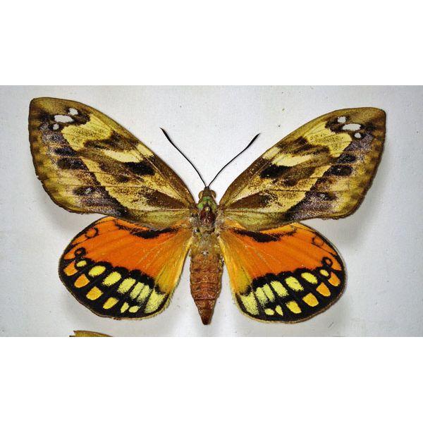 CASTNIA Athis flavimaculata(Mexico)