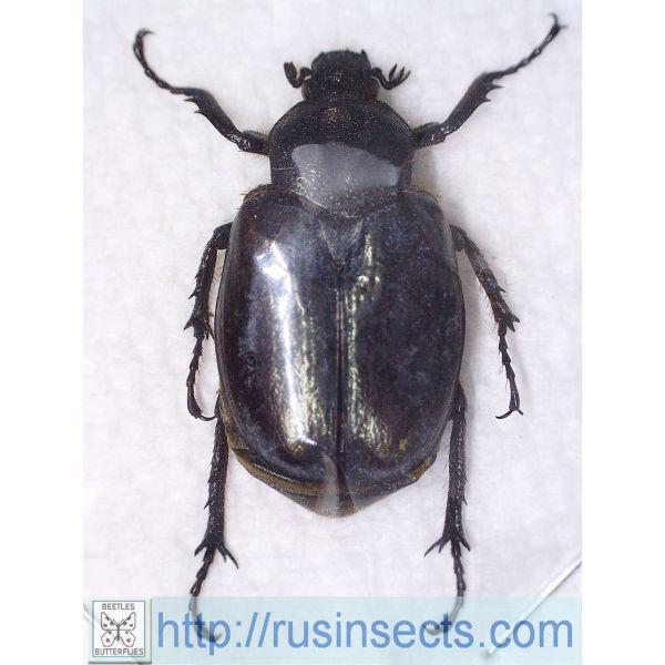 Scarabaeidae, Trichiinae Osmoderma eremicola Canada (Montreal)