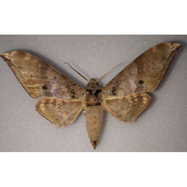 Sphingidae Ambulyx flava Philippines endémique