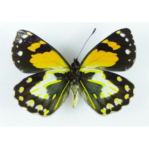 SPLENDID Delias hallstromi FEMALE - VERY RARE - Papua New Guinea