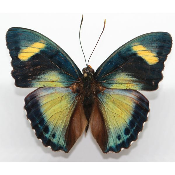 Euphaedra demeter - Cameroon - Nymphalidae, butterfly, entomology