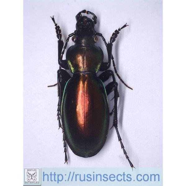 Carabidae, Carabinae, Carabus Carabus (Lamprostus) spinolai lohsei Turkey