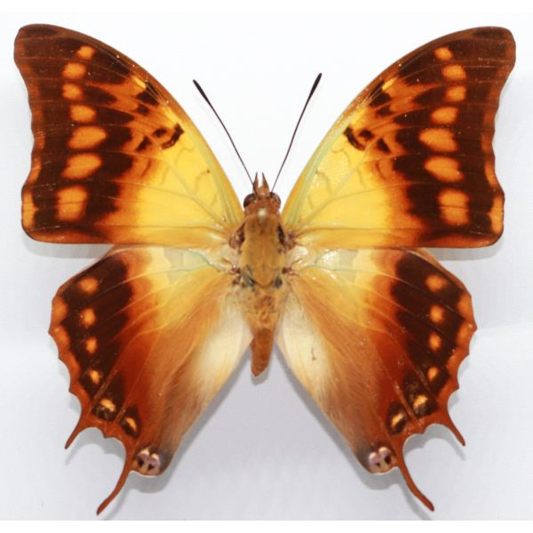 Charaxes candiope - Cameroon. - Nymphalidae, butterfly