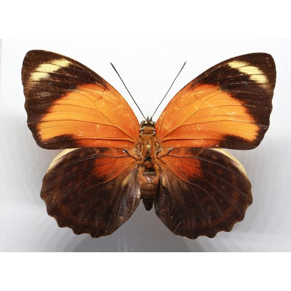 +++ AGRIAS PERICLES AURANTIACA female RED FORM ,BRAZIL, Nymphalidae +++