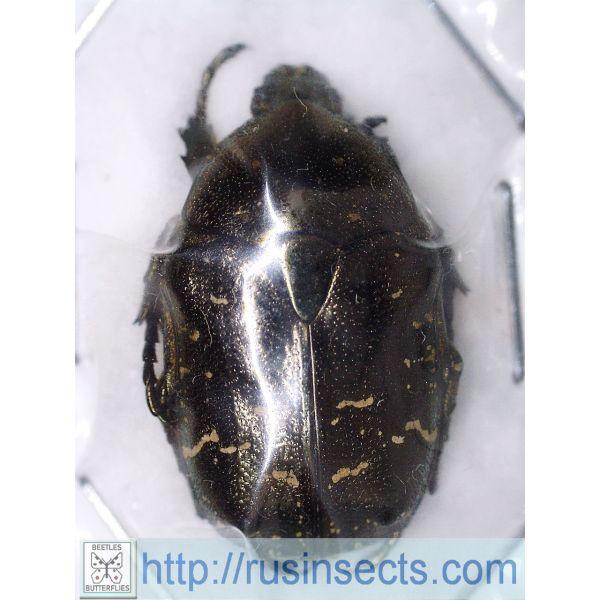 Scarabaeidae, Cetoniinae Protaetia (Calopotosia) orientalis orientalis N Korea A-