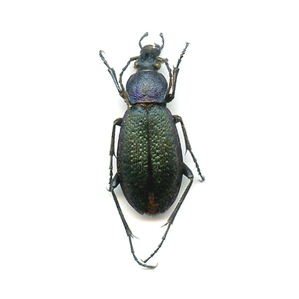 Carabus (Morphhocarabus) hummereli - A1 Seldom Offered - CHINA - CARABIDAE