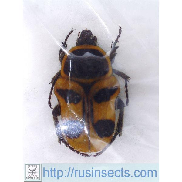 Scarabaeidae, Cetoniinae Pseudepixanthis stella Madagascar