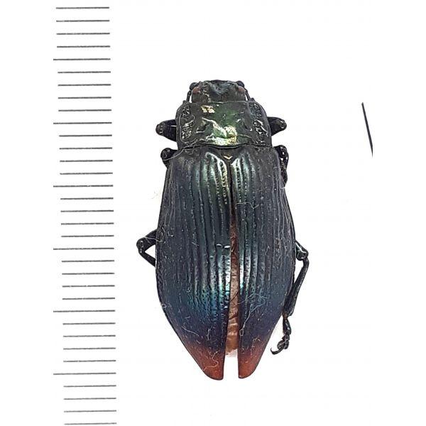 30834, Tenebrionidae (?) sp., from Indonesia