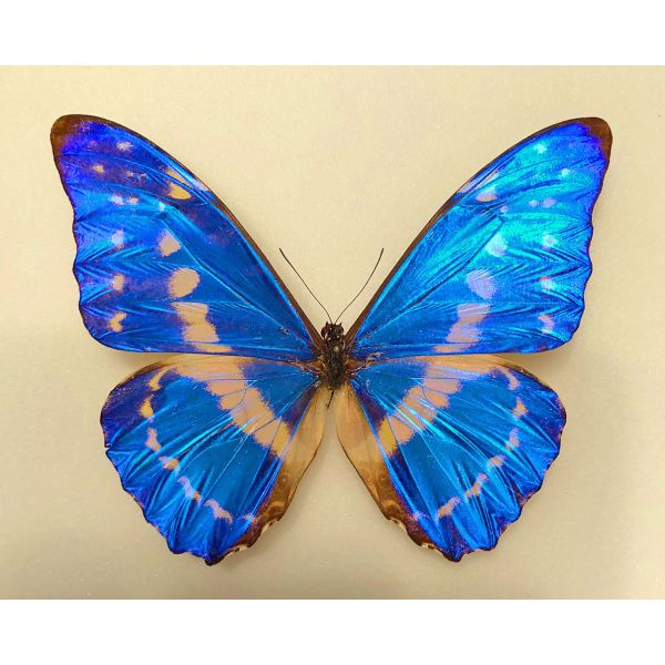 MORPHO CYPRIS CYPRIS ***male ex pupae****COLOMBIA(papered-unmounted)