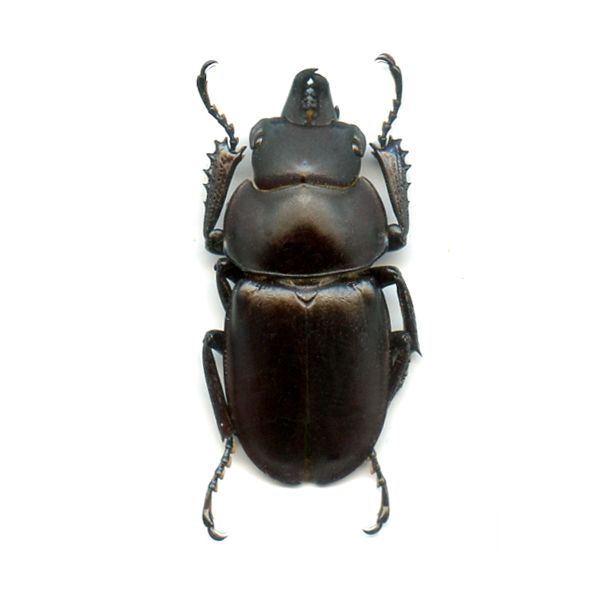 Neolucanus sinicus opacus - A1 malea pprox 35 mm - N.Vietnam - LUCANIDAE