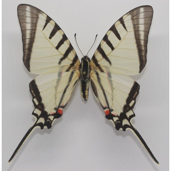 Eurytides agesilaus from PERU - Papilionidae, butterfly, Graphium