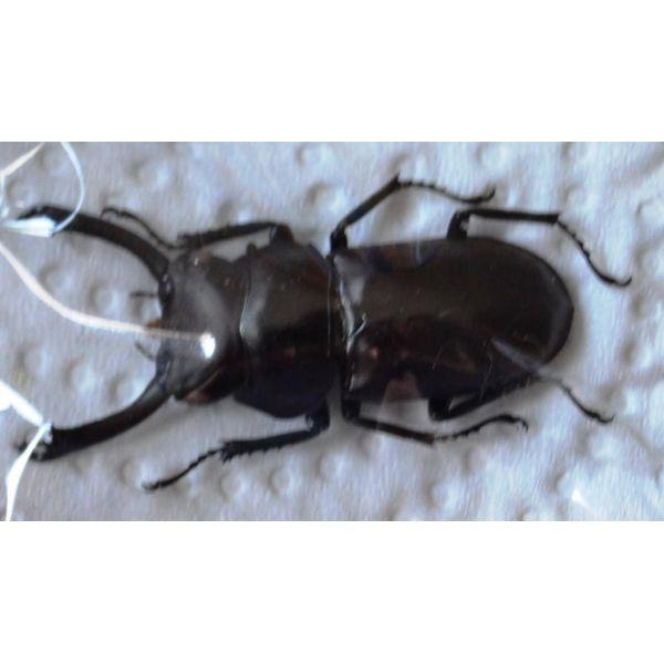 A1 LUCANIDAE Pogonodorcus bisignatus elsiledis M 33mm Vietnam