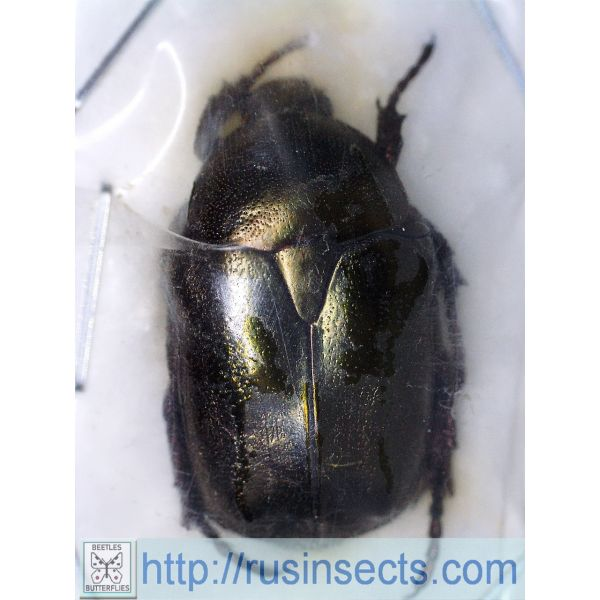 Scarabaeidae, Cetoniinae Potosia fieberi fieberi France