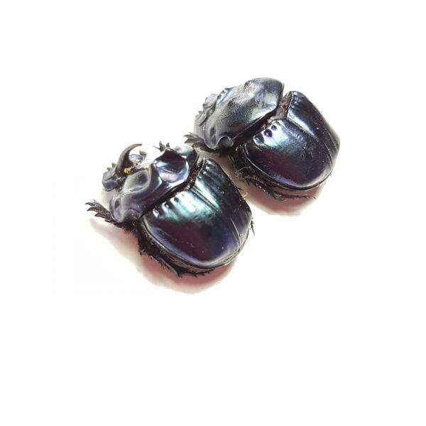 Coprophanaeus saphirinus pair big