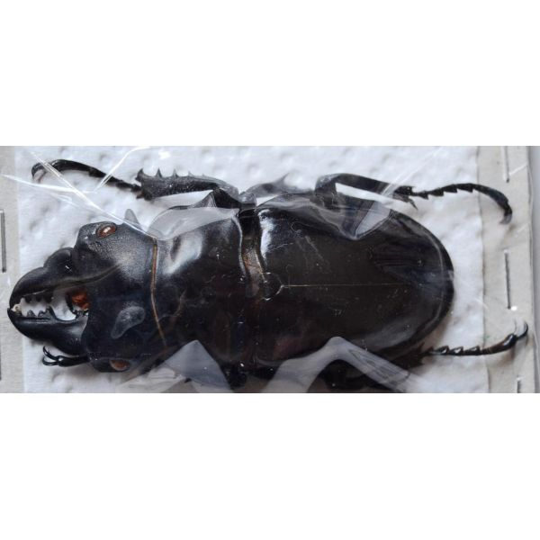 A1 LUCANIDAE Odontabilis siva parryi M amphiodonte 67mm Vietnam