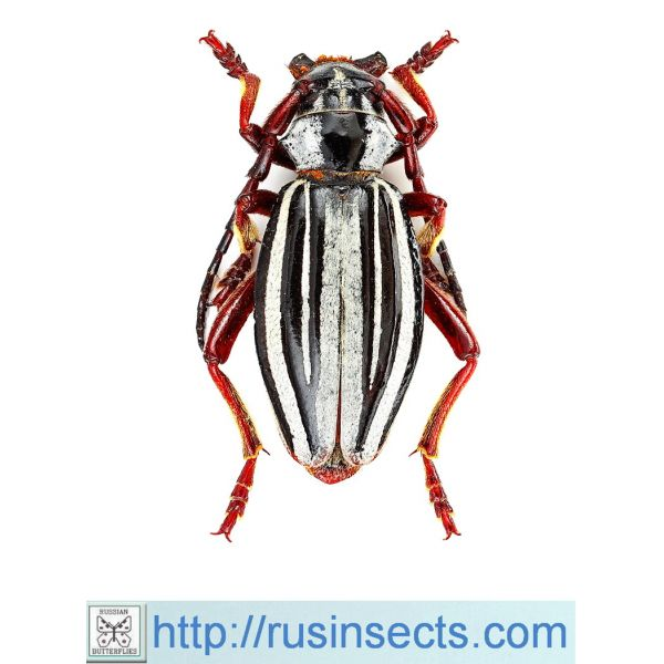 Cerambycidae, Lamiinae, Dorcadionini Dorcadion (Politodorcadion) ribbei ribbei