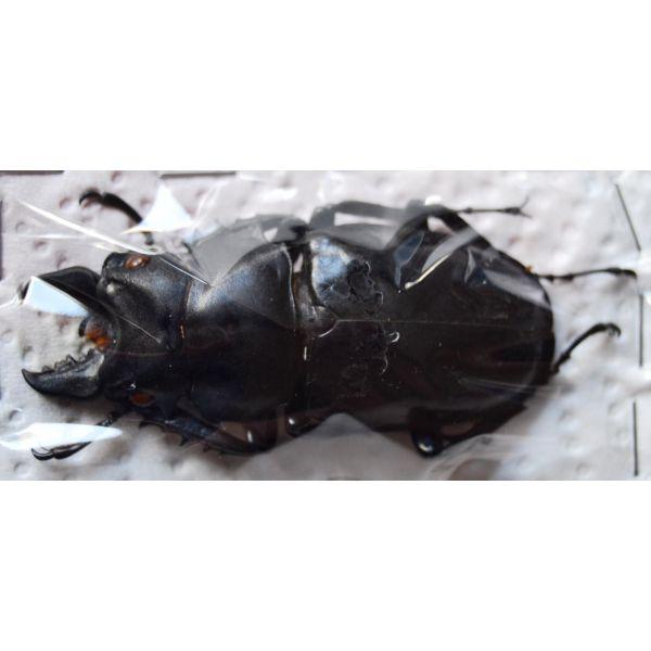 A1 LUCANIDAE Odontabilis siva parryi M amphiodonte 59mm Vietnam