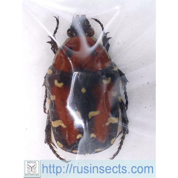 Scarabaeidae, Cetoniinae Gametis versicolor S India (Karnataka)