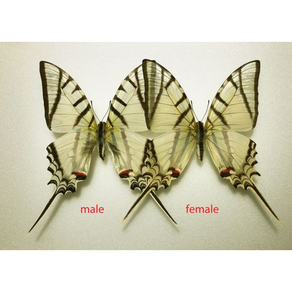 PROTESILAUS PROTESILAUS ARCHESILAUS**** PAIR ***COLOMBIA(unmounted-not pinned)