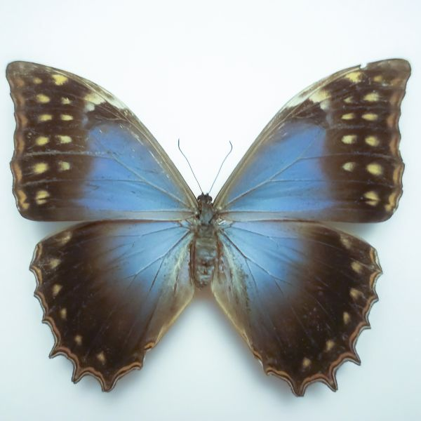 Morpho theseus schweizeri FEMALE
