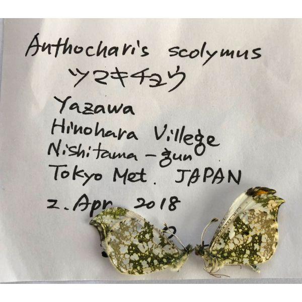 ANTHOCHARIS SCOLYMUS * PAIR****JAPAN(unmounted,papered)