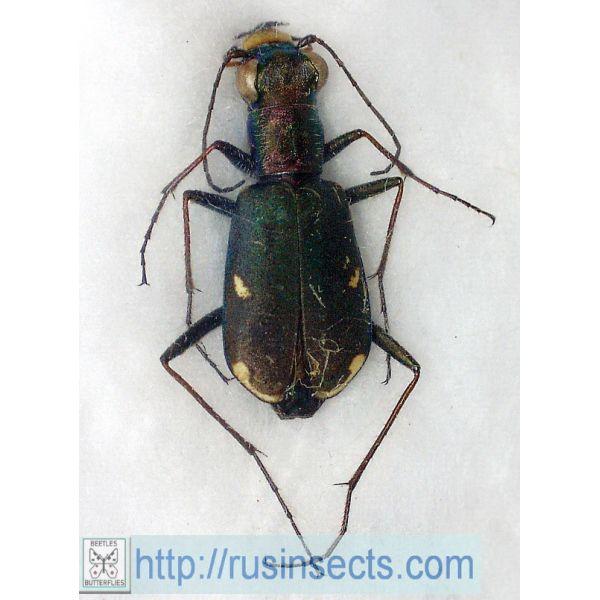 Cicindelidae, Cicindelini Cicindela (Cylindera) germanica Russia, SW Siberia (Orenburg reg.)
