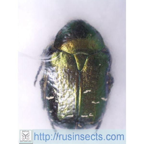 Scarabaeidae, Cetoniinae Cetonia (s. str.) aurata pallida Armenia (green colour)