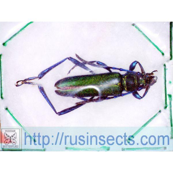 Cerambycidae, Cerambycinae Brevechelidonium circumsplendens W Malaysia (Pahang)