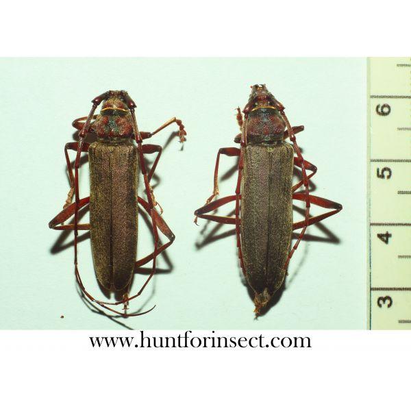 Turkaromia pruinosa