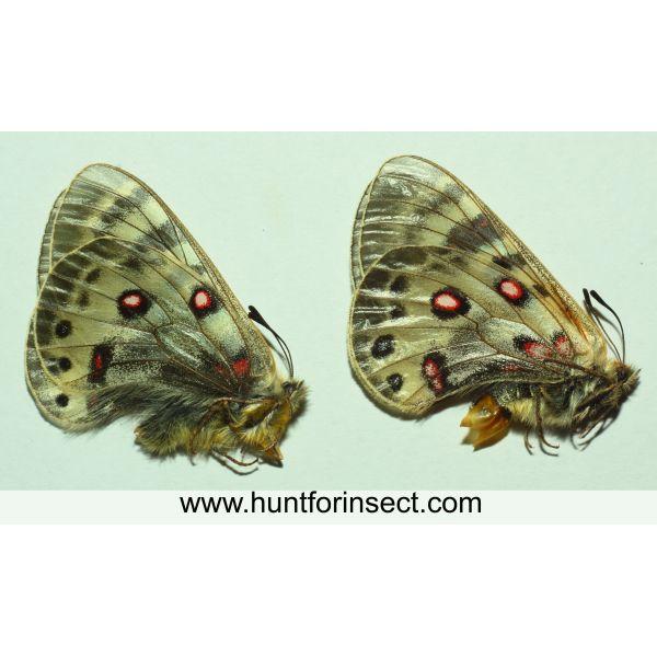 Parnassius delphius pulchra pair, A+ quality