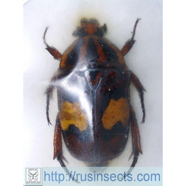 Scarabaeidae, Cetoniinae Dyspilophora trivittata trivittata Tanzania